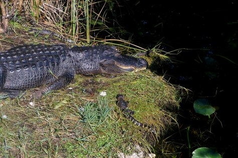 Krokodil in den Everglades